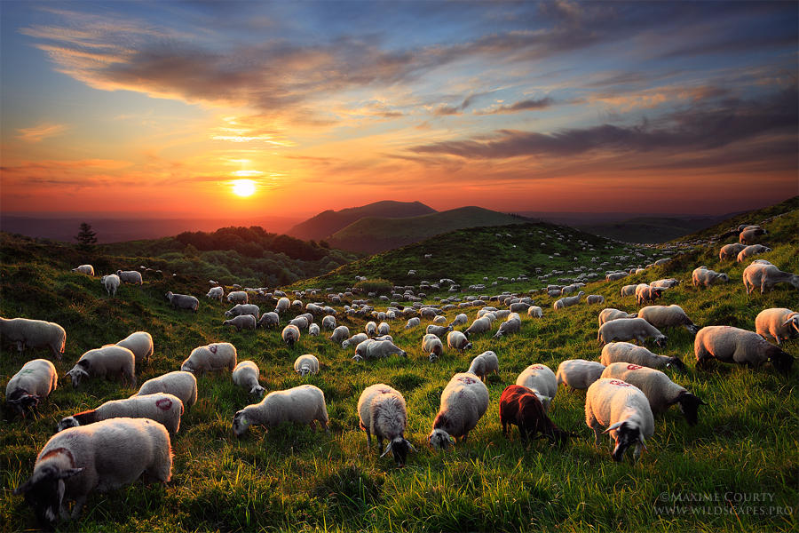A Sunset With The Sheep by MaximeCourty