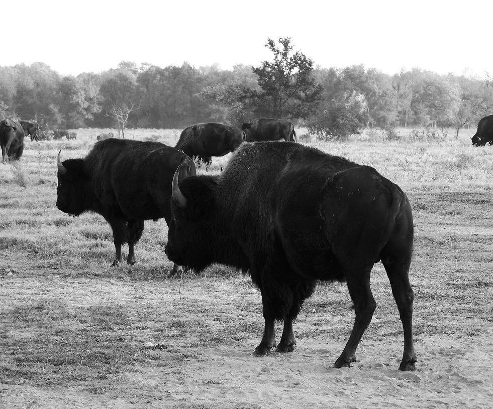 PRO Black/White Buffalo by Phoenixhybrid