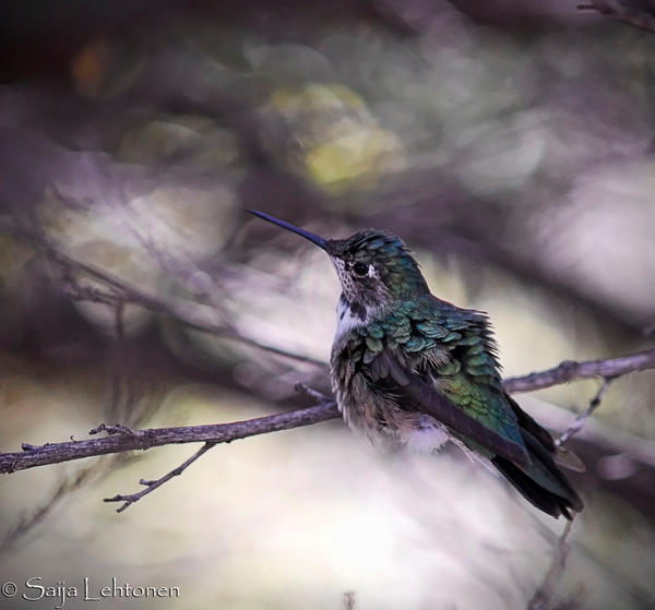 Magnificent Hummingbird by CeeThruMyEyes