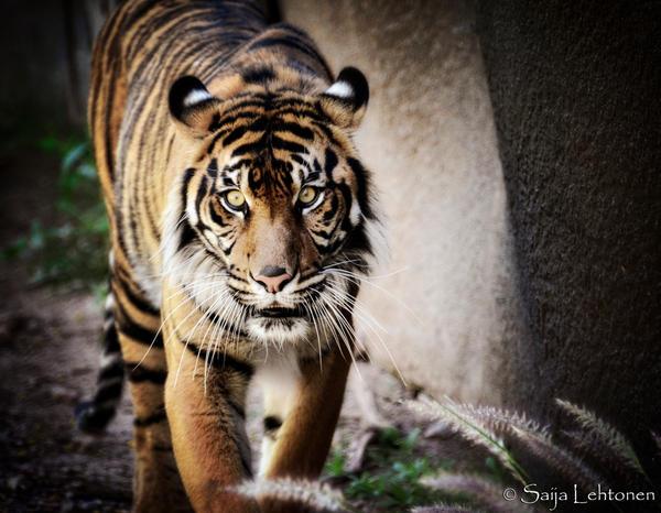 Sumatran Tiger by CeeThruMyEyes