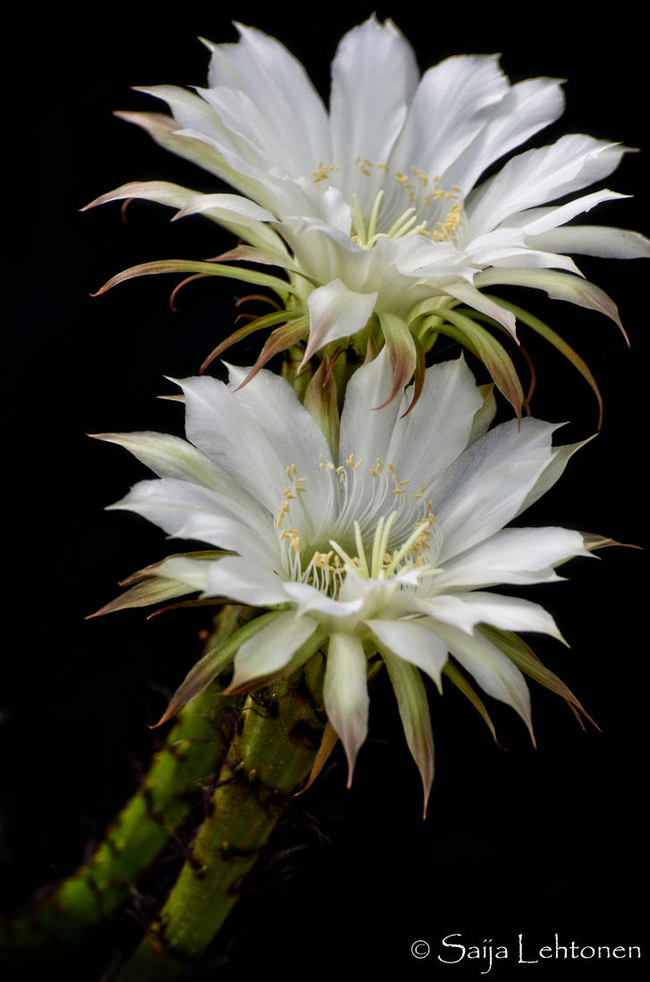White Cactus Flowers By Ceethrumyeyes On Deviantart