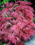 Akai Momiji - Red Maple