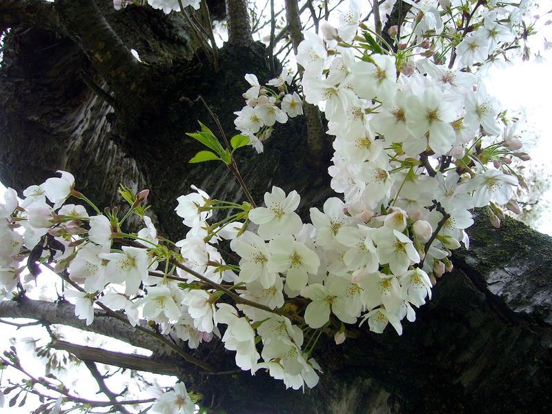 Sakura2 - Cherry blossoms