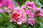 Rose, rose rose.... by KisaragiChiyo