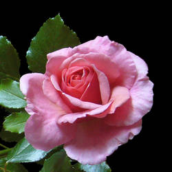 My Pink Rose by KisaragiChiyo