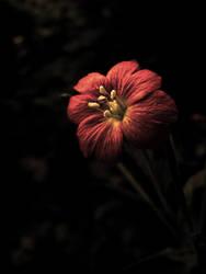 night red flower by nieraviel