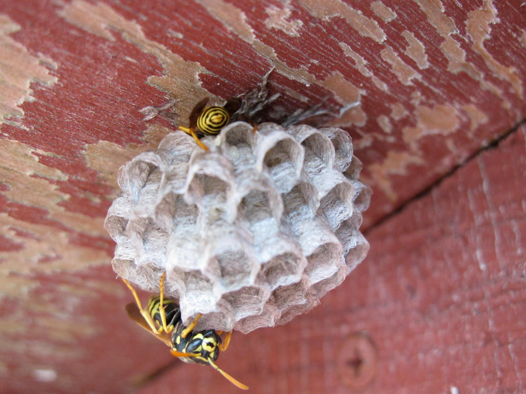 Wasp Egg by boxcamera