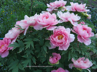 Peony in april by Peony-Shoes