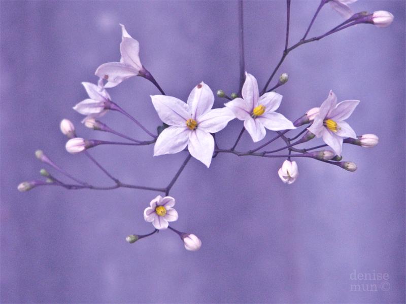 violet by tea-pot