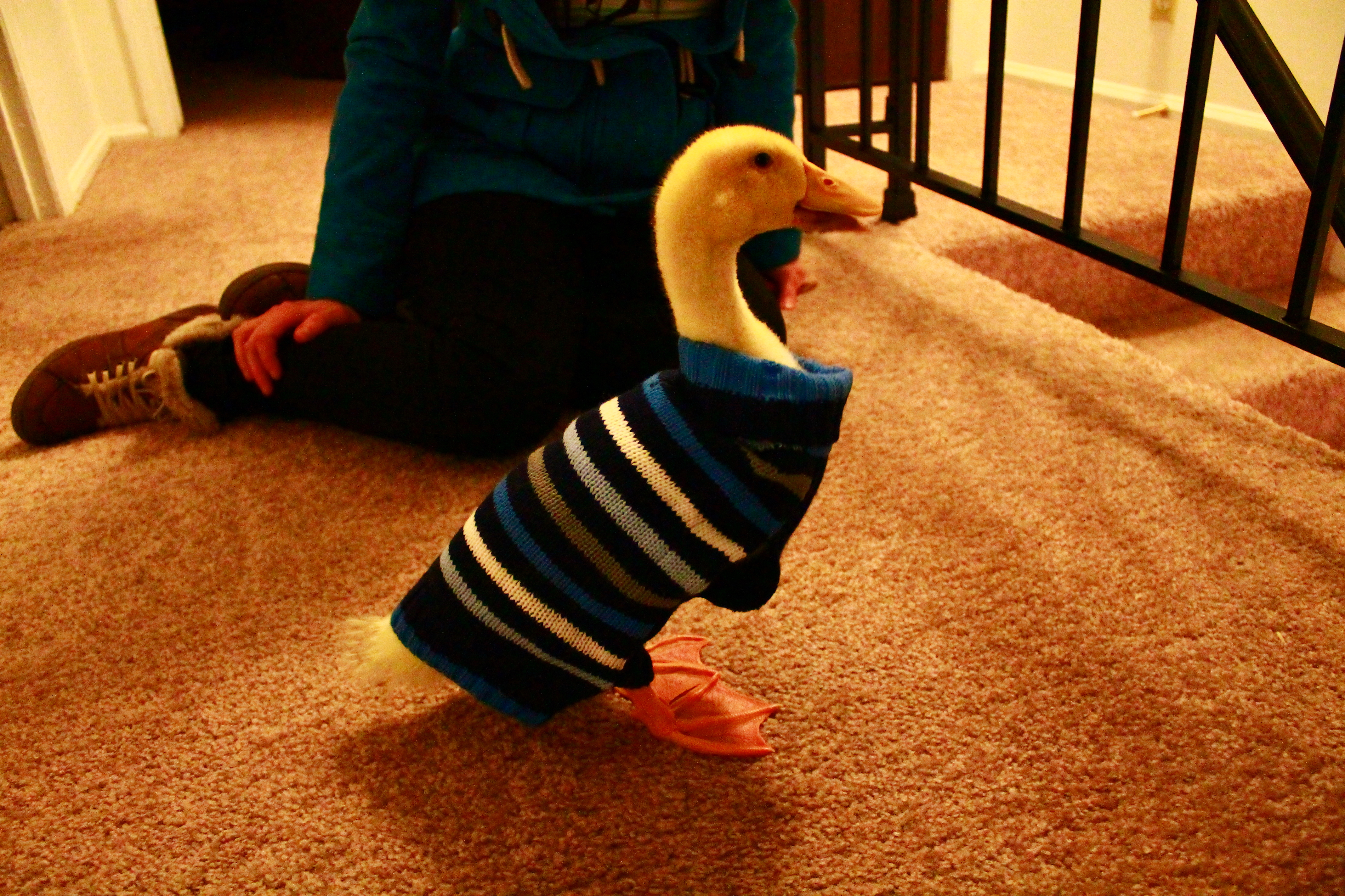 LeBraun the Duck Wearing His Sweater