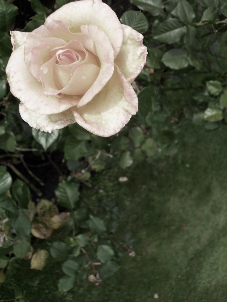 Scottish Rose I by figment1990