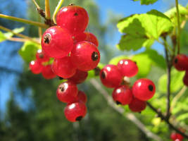 Redcurrant by MikeMS