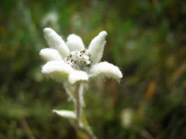Edelweiss by MikeMS
