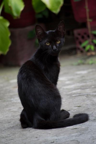 Black Kitty [Stock] by IvaxXx