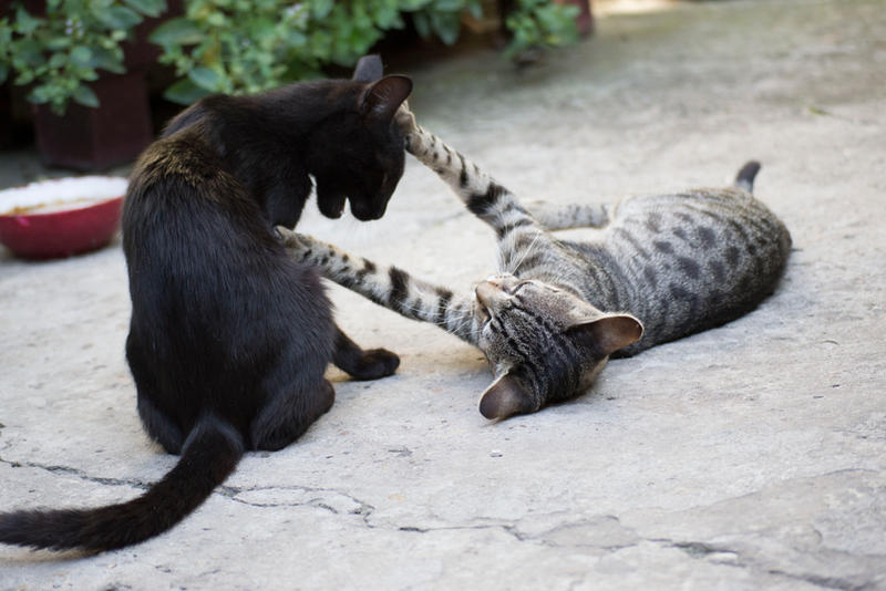 Cats Are Playing 3 [Stock]