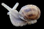Snail [PNG]
