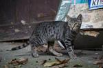 Cat 32 [Stock]