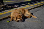 Sleeping dog [Stock]