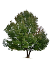 Tree [PNG]