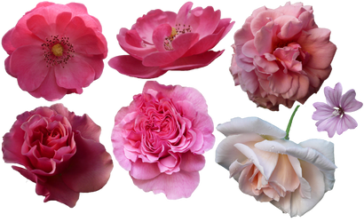 Flowers [PNG]