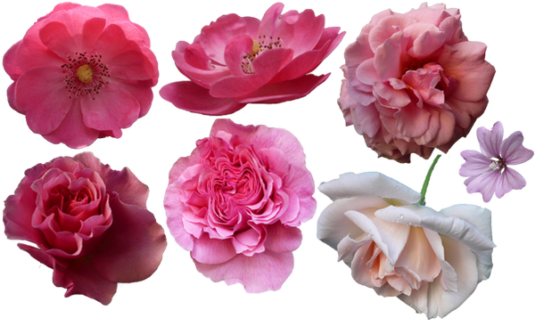 Flowers png by ivaxxx on deviantart flowers png by ivaxxx mightylinksfo Image collections