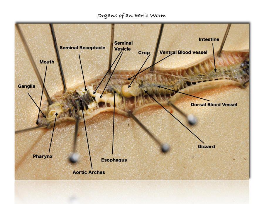 Internal Anatomy Of The Earthworm