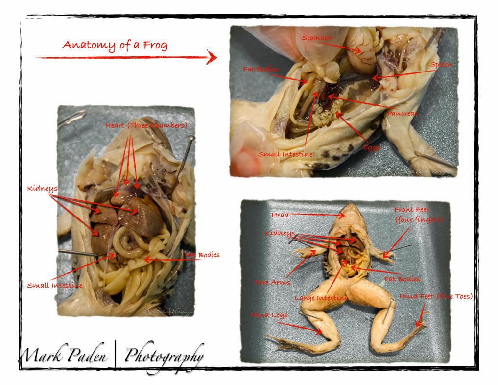 Anatomy of a Frog by thephotographicgenus on DeviantArt