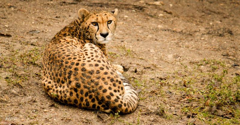The Cheetah by thephotographicgenus
