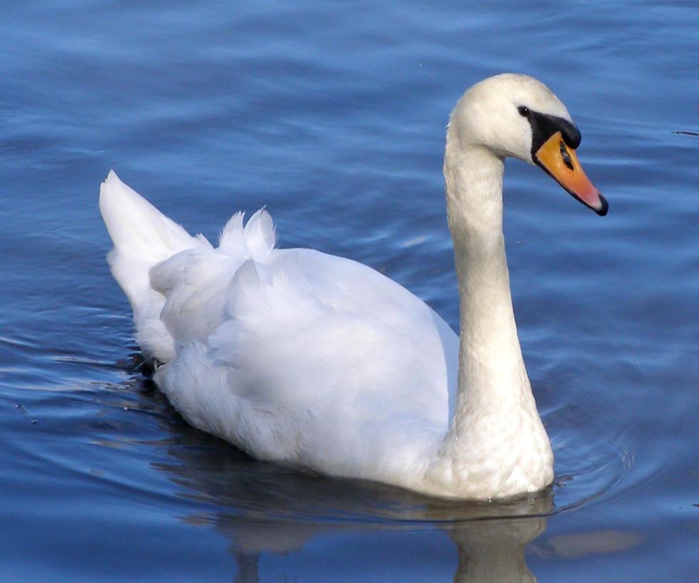 Swan Swan