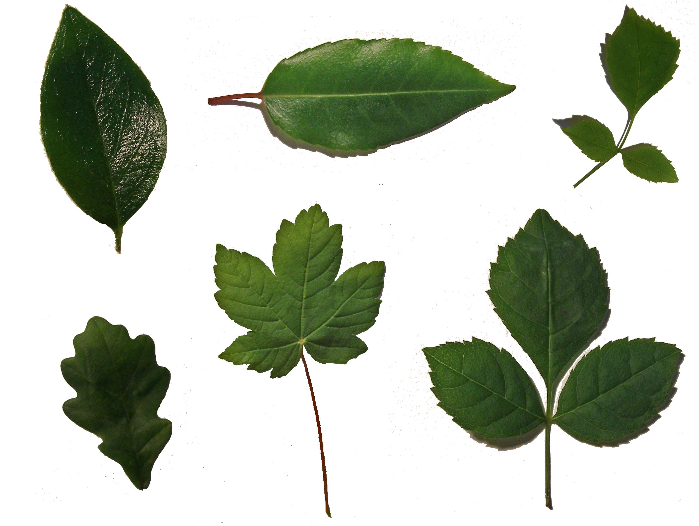 leaf sheet...