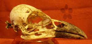 Crow skull 2...