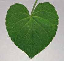 Heart shaped...leaf by chop-stock