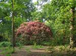 Red bush rhody