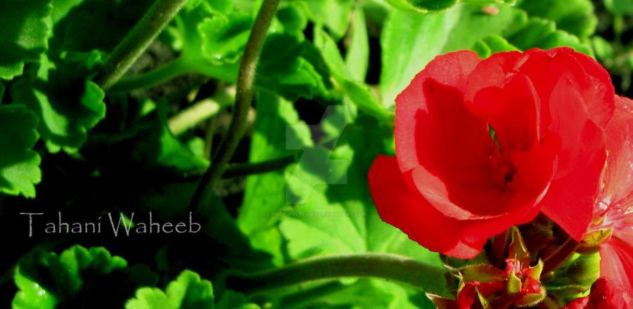 Single Rose by ThePurpleLilac