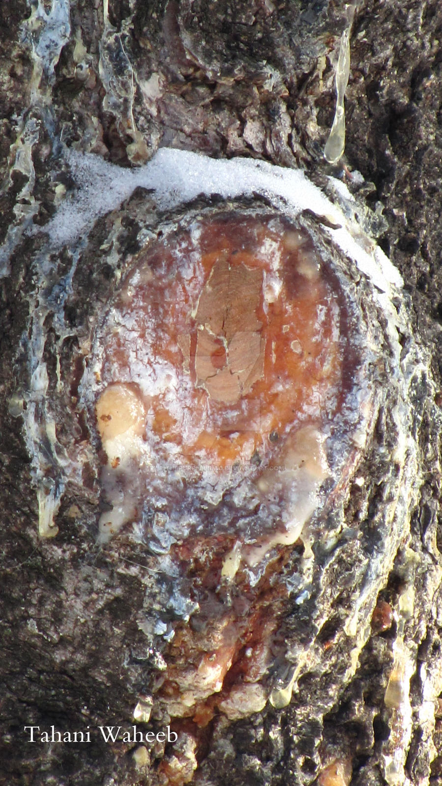 Maple tree 1 by ThePurpleLilac