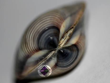 Sea Shell 1