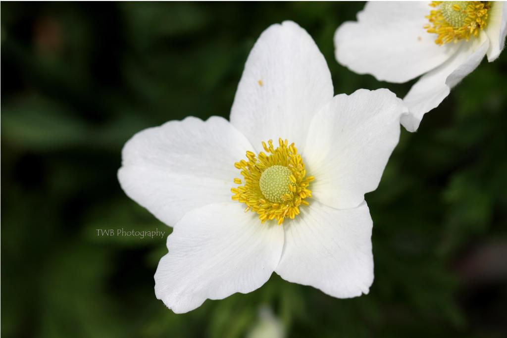 Wild Anemone by ThePurpleLilac