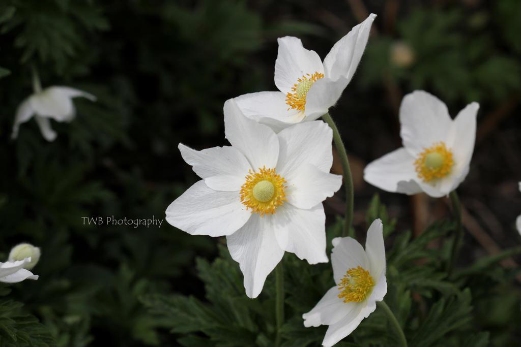 Wild Anemone - 2 by ThePurpleLilac