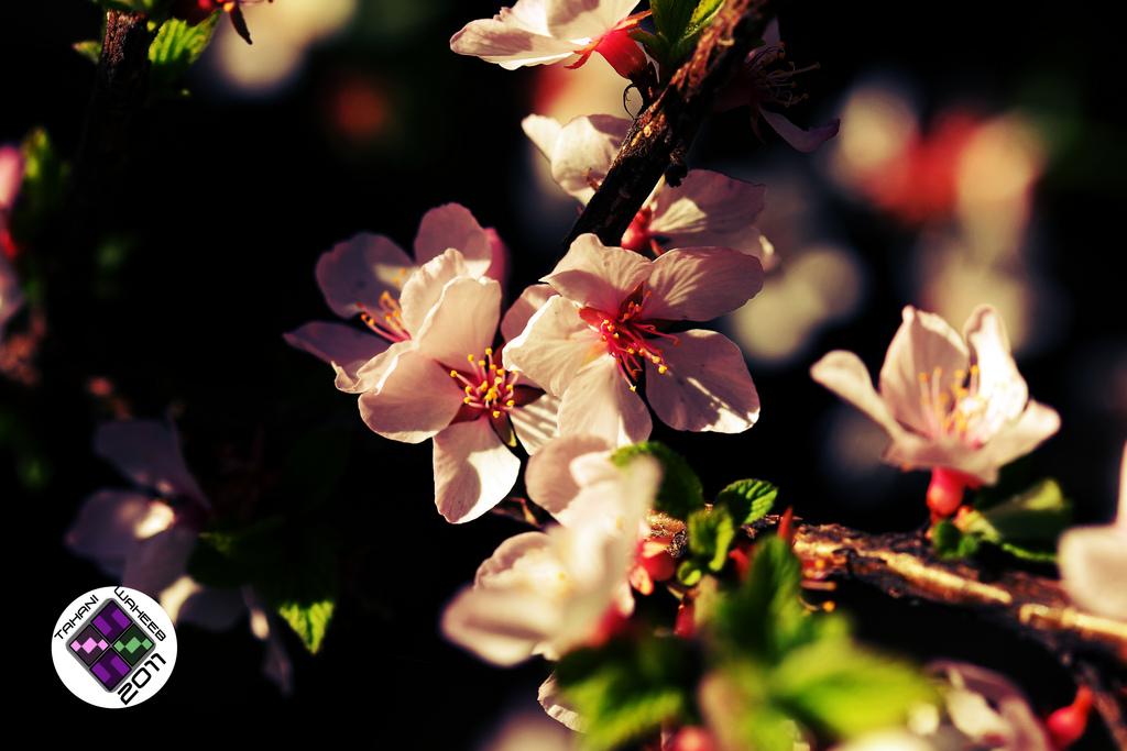 Sakura (Cherry Blossom) by ThePurpleLilac