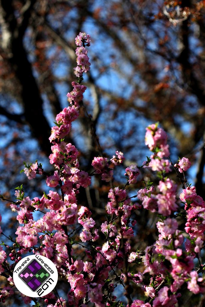 Sakura (Cherry Blossom) -2 by ThePurpleLilac