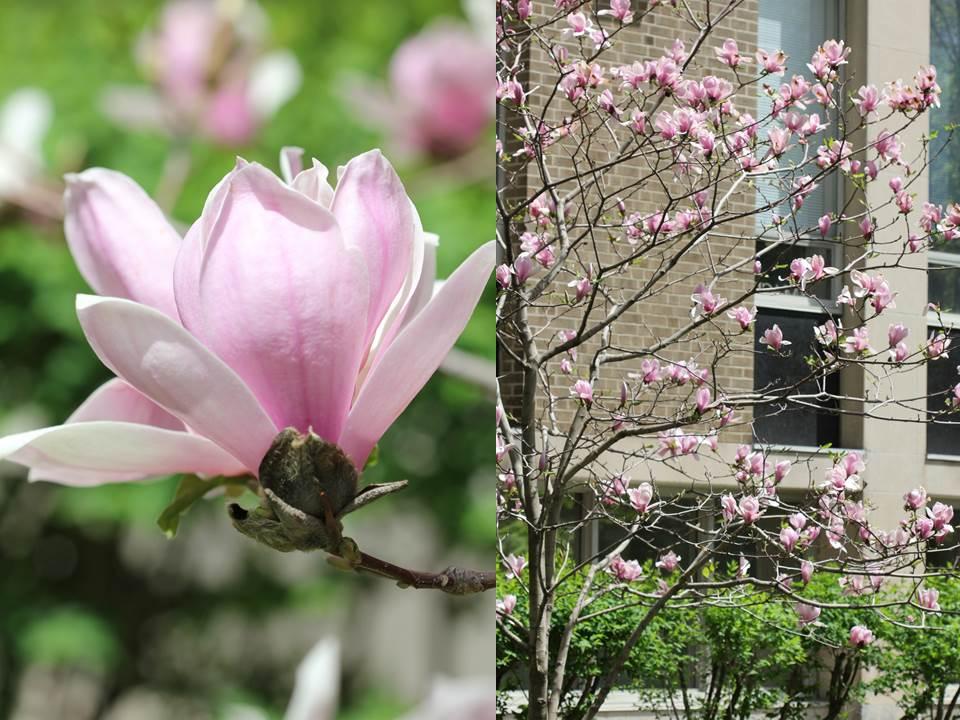 Magnolia Flower by ThePurpleLilac