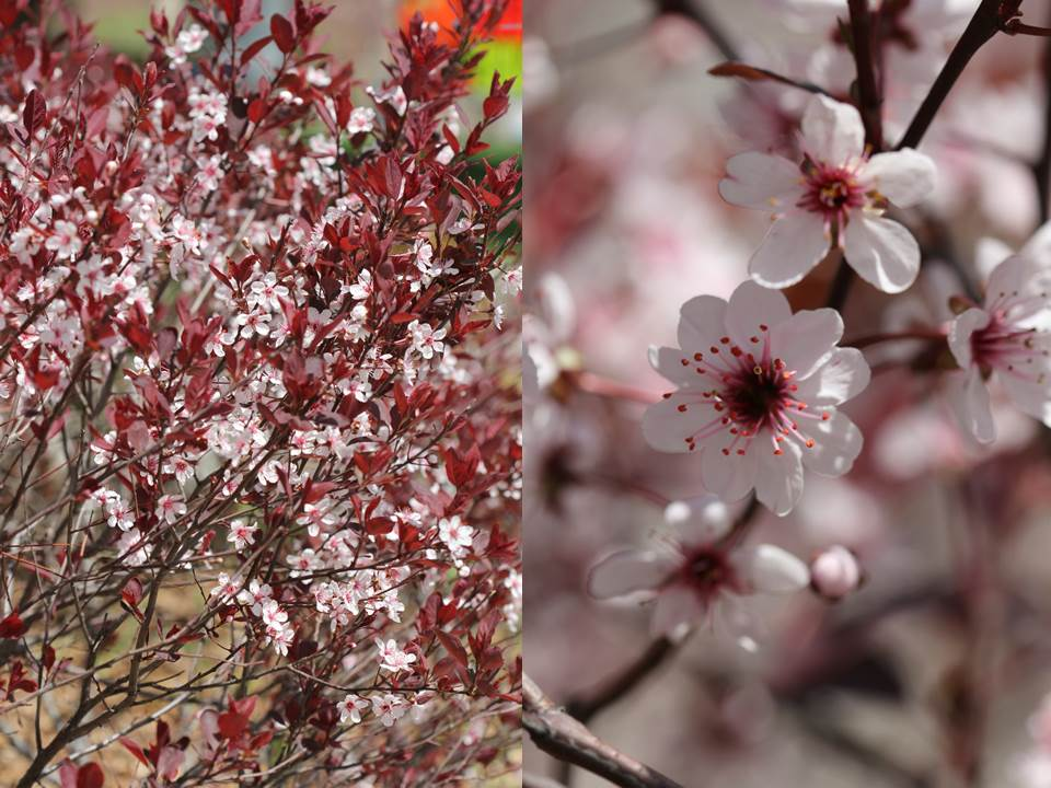 Sakura1 by ThePurpleLilac