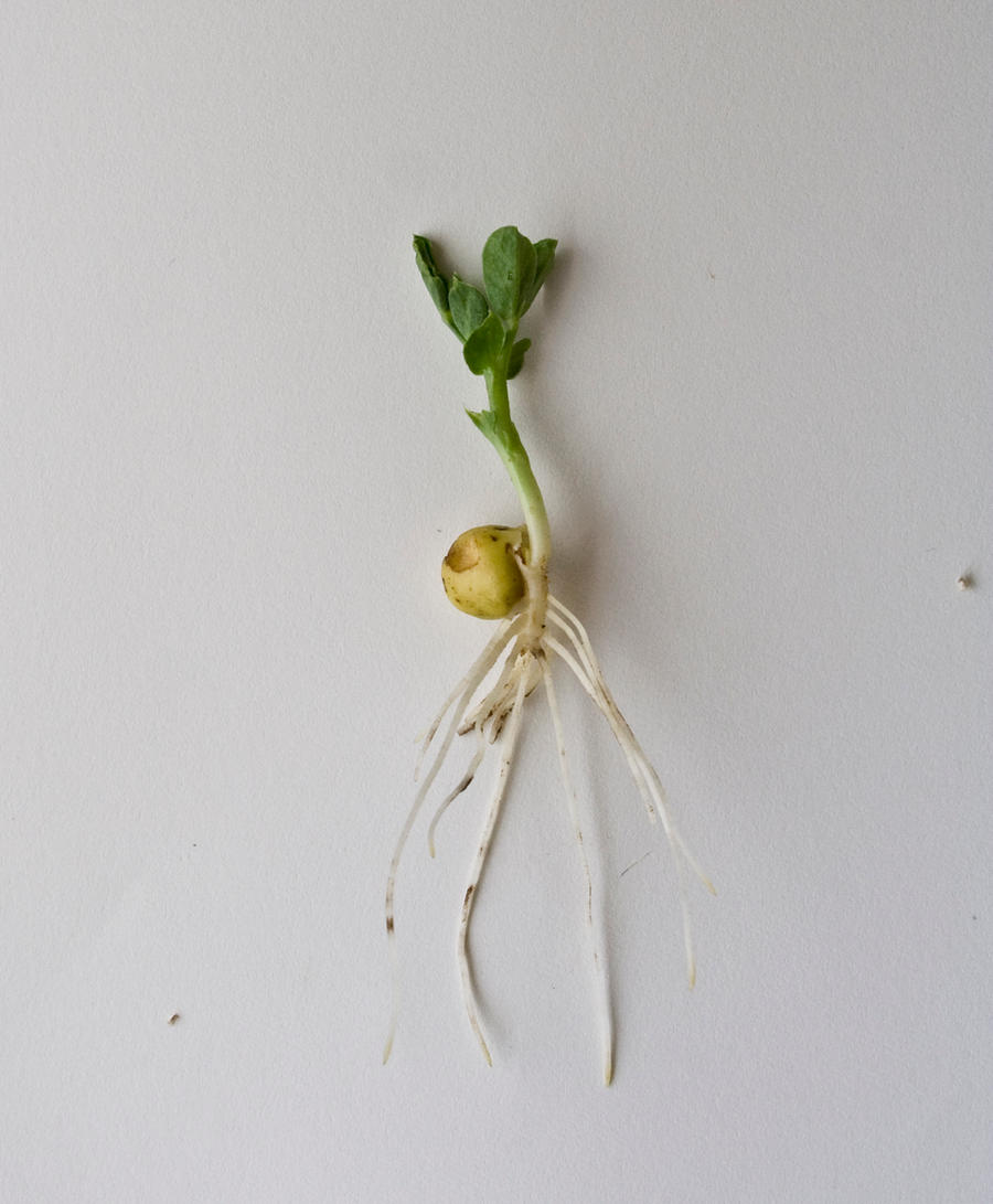germinated peas report Abstract the ability of seeds to germinate at high salt concentration in the soil is crucial importance for the survival and perpetuation of many plant species.