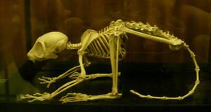 primate 02: skeleton