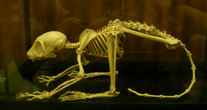 primate 02: skeleton by cyborgsuzystock
