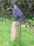 birdy 21: jackdaw