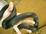 snake 12: black scales