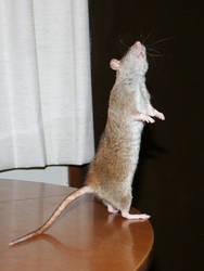 rat 05
