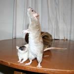 rat 09