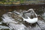 birdy 55: common murre